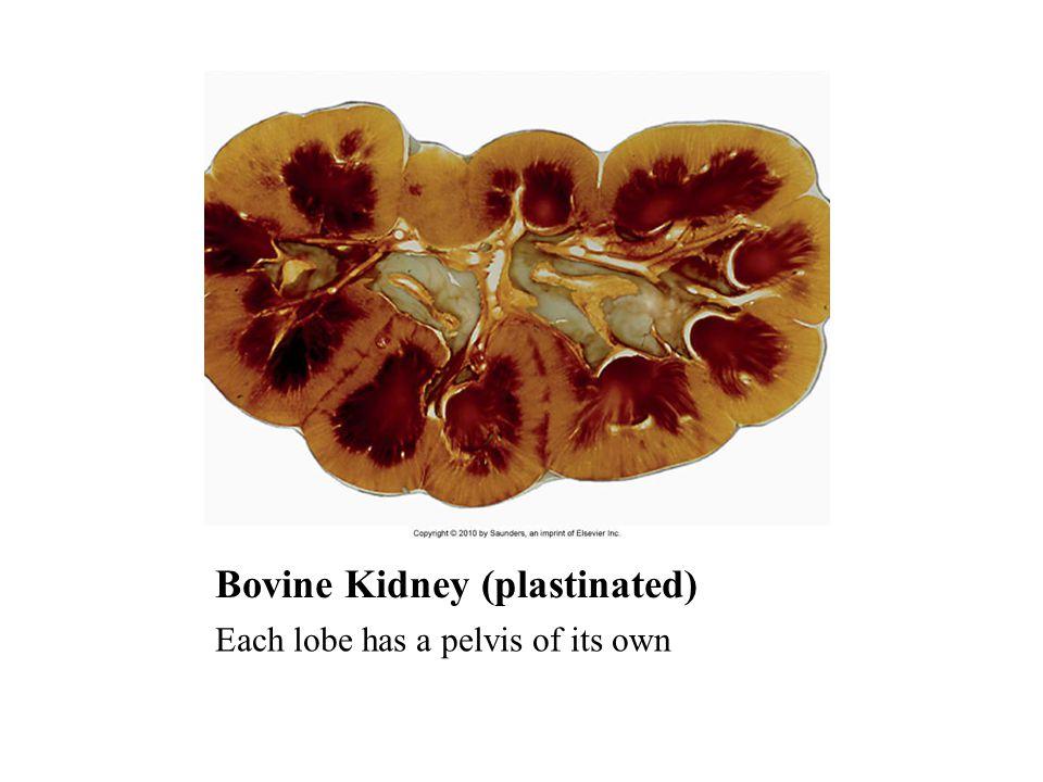 Bovine Kidney (plastinated) Each lobe has a pelvis of its own