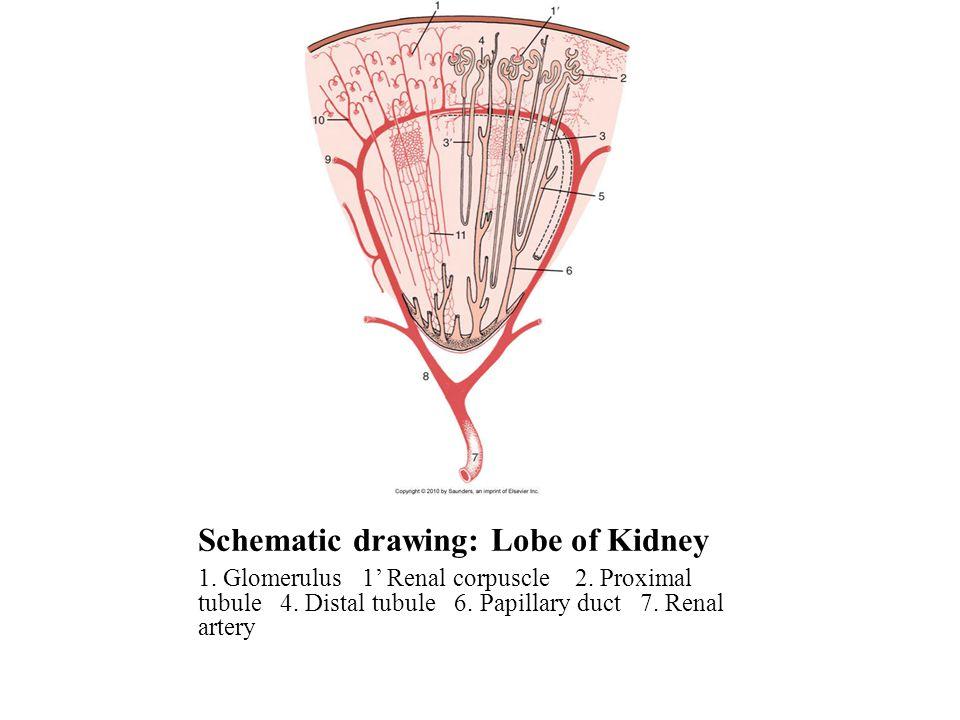 Schematic drawing: Lobe of Kidney 1. Glomerulus 1' Renal corpuscle 2. Proximal tubule 4. Distal tubule 6. Papillary duct 7. Renal artery