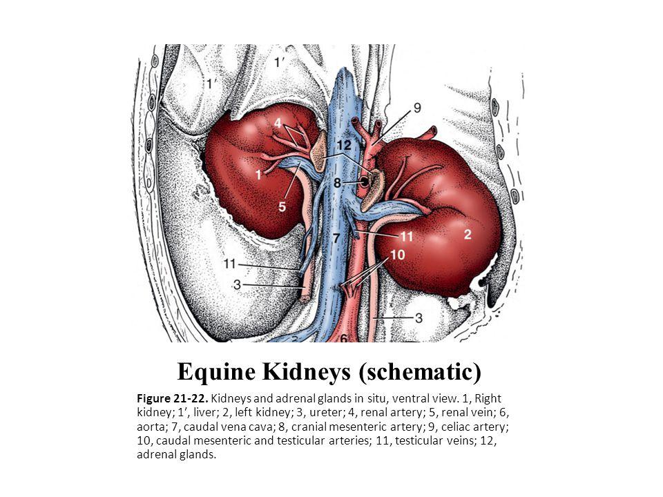 Equine Kidneys (schematic) Figure 21-22. Kidneys and adrenal glands in situ, ventral view. 1, Right kidney; 1′, liver; 2, left kidney; 3, ureter; 4, r