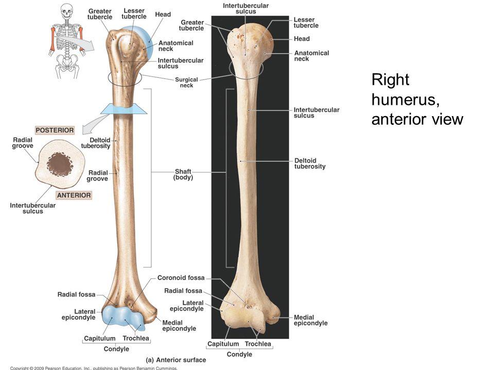 Right humerus, anterior view