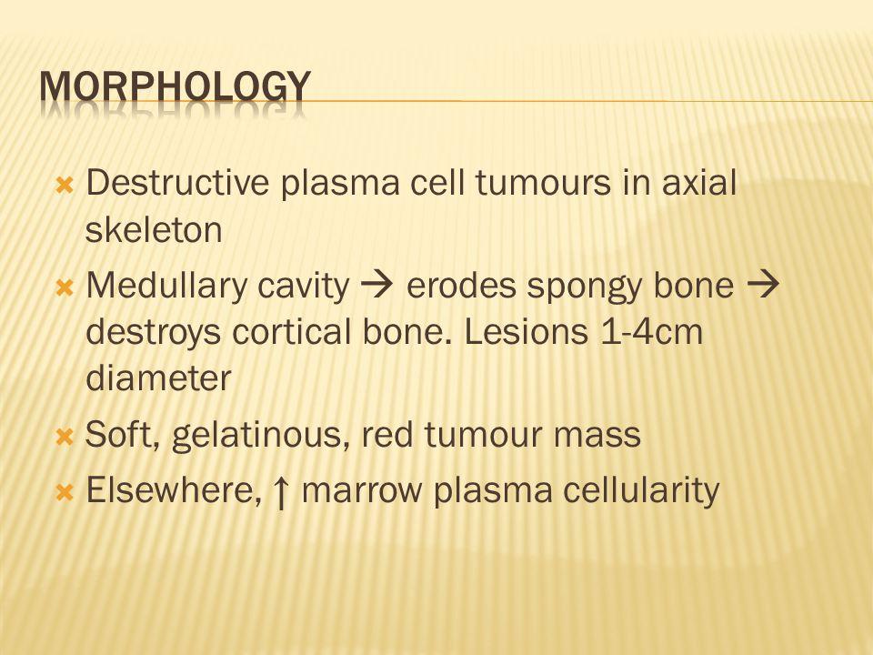  Destructive plasma cell tumours in axial skeleton  Medullary cavity  erodes spongy bone  destroys cortical bone. Lesions 1-4cm diameter  Soft, g