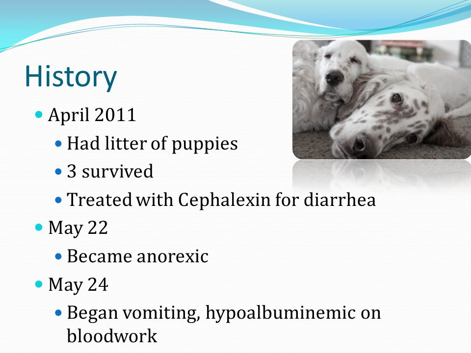 History April 2011 Had litter of puppies 3 survived Treated with Cephalexin for diarrhea May 22 Became anorexic May 24 Began vomiting, hypoalbuminemic on bloodwork