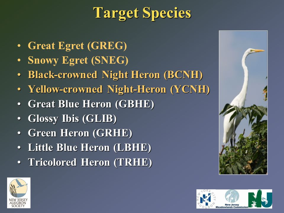 Target Species Great Egret (GREG) Snowy Egret (SNEG) Black-crowned Night Heron (BCNH)Black-crowned Night Heron (BCNH) Yellow-crowned Night-Heron (YCNH)Yellow-crowned Night-Heron (YCNH) Great Blue Heron (GBHE)Great Blue Heron (GBHE) Glossy Ibis (GLIB)Glossy Ibis (GLIB) Green Heron (GRHE)Green Heron (GRHE) Little Blue Heron (LBHE)Little Blue Heron (LBHE) Tricolored Heron (TRHE)Tricolored Heron (TRHE)