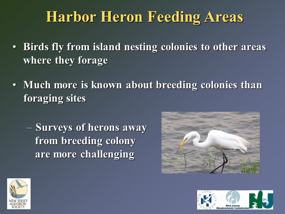 Harbor Heron Feeding Areas Birds fly from island nesting colonies to other areas where they forageBirds fly from island nesting colonies to other areas where they forage Much more is known about breeding colonies thanMuch more is known about breeding colonies than foraging sites foraging sites –Surveys of herons away from breeding colony from breeding colony are more challenging are more challenging