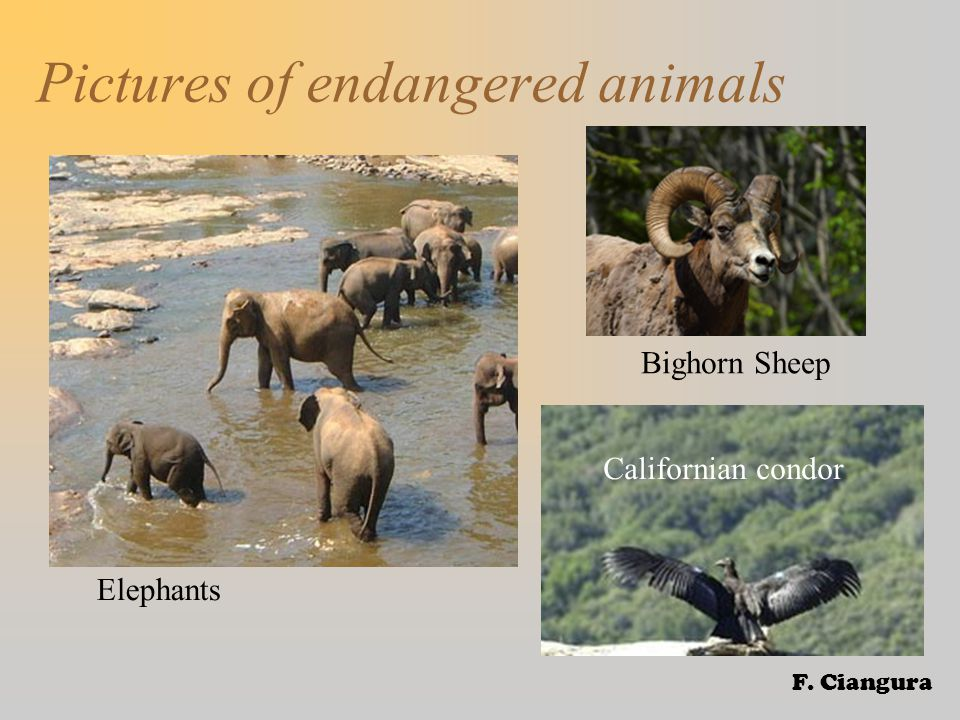 Pictures of endangered animals Elephants Bighorn Sheep Californian condor F. Ciangura