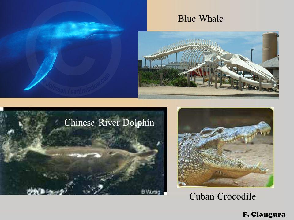 Blue Whale Chinese River Dolphin Cuban Crocodile F. Ciangura