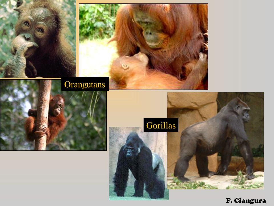 Orangutans Gorillas F. Ciangura