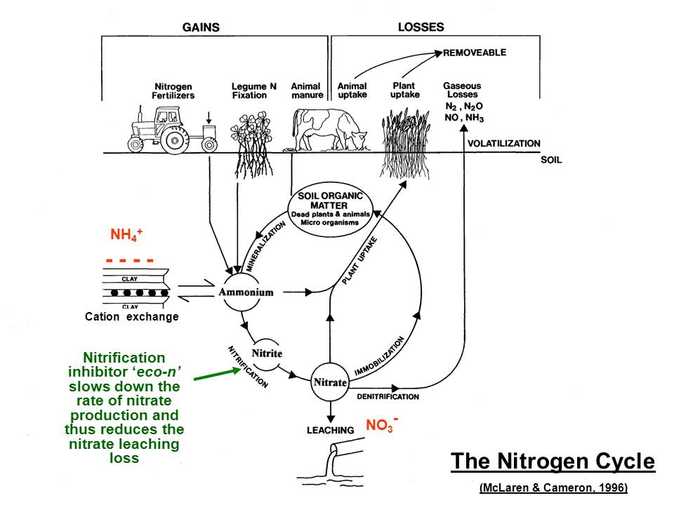 NH 4 + - - NO 3 - Cation exchange Nitrification inhibitor 'eco-n' slows down the rate of nitrate production and thus reduces the nitrate leaching loss The Nitrogen Cycle (McLaren & Cameron, 1996)
