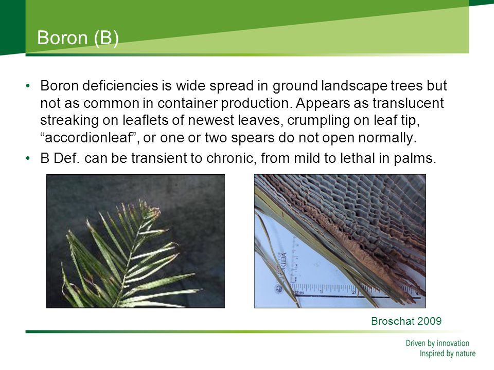 Boron (B) Boron deficiencies is wide spread in ground landscape trees but not as common in container production.