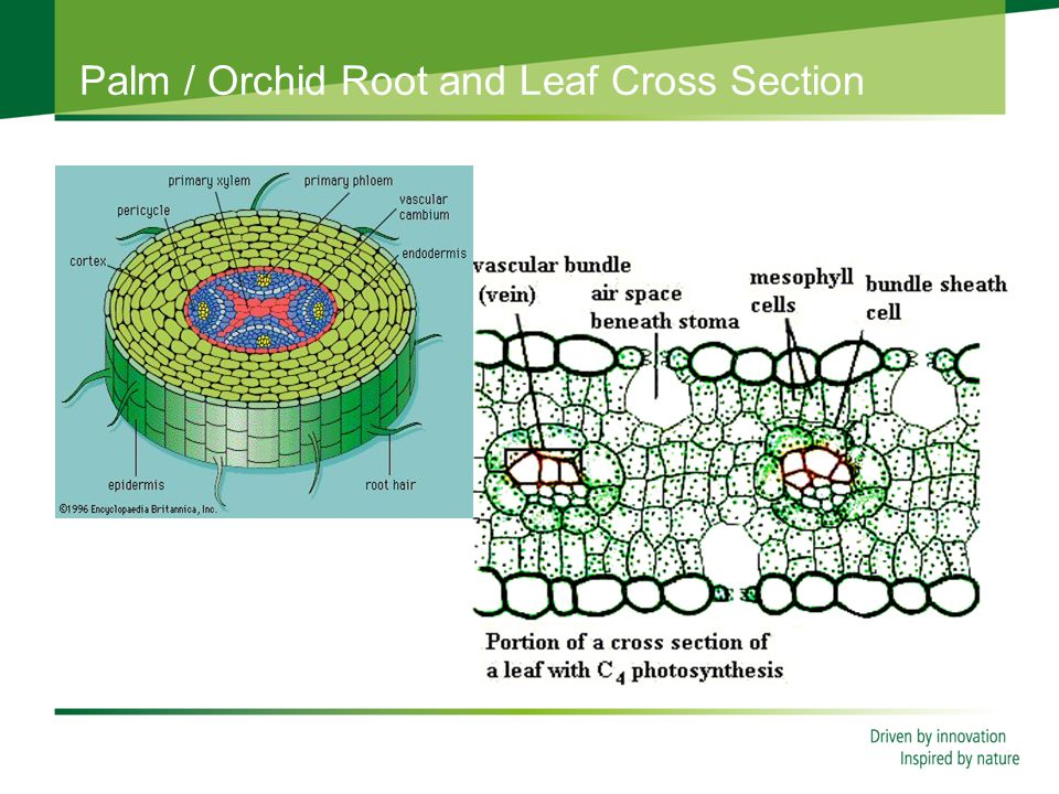 Palm / Orchid Root and Leaf Cross Section