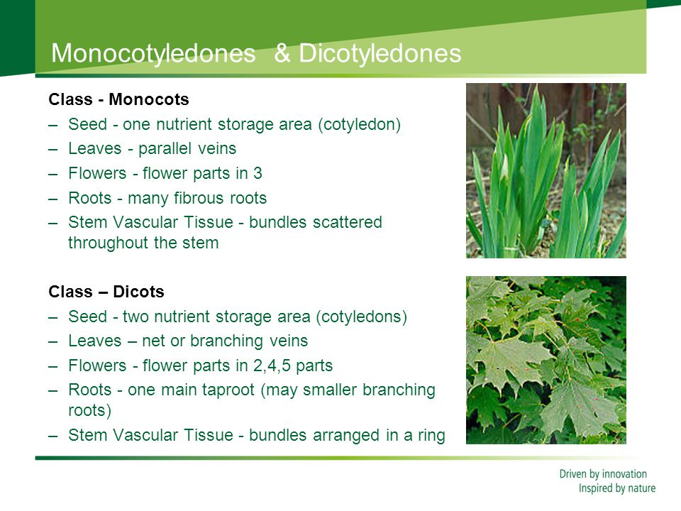 Monocotyledones & Dicotyledones Class - Monocots –Seed - one nutrient storage area (cotyledon) –Leaves - parallel veins –Flowers - flower parts in 3 –Roots - many fibrous roots –Stem Vascular Tissue - bundles scattered throughout the stem Class – Dicots –Seed - two nutrient storage area (cotyledons) –Leaves – net or branching veins –Flowers - flower parts in 2,4,5 parts –Roots - one main taproot (may smaller branching roots) –Stem Vascular Tissue - bundles arranged in a ring
