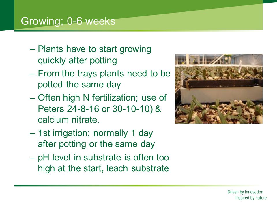 Growing; 0-6 weeks –Plants have to start growing quickly after potting –From the trays plants need to be potted the same day –Often high N fertilization; use of Peters 24-8-16 or 30-10-10) & calcium nitrate.