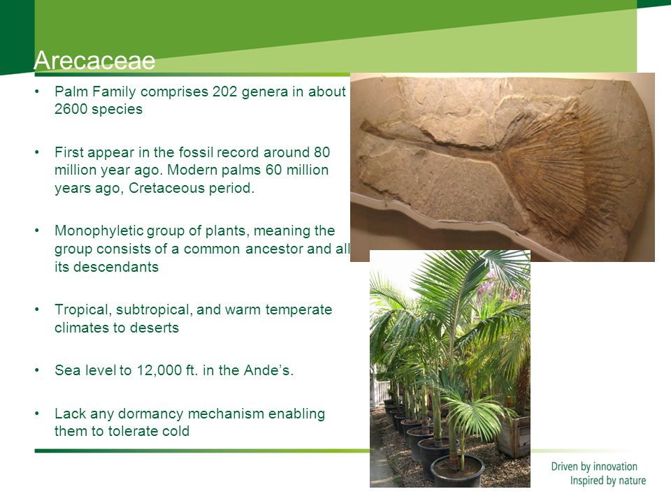 Arecaceae Palm Family comprises 202 genera in about 2600 species First appear in the fossil record around 80 million year ago.
