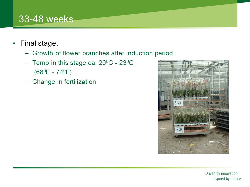 33-48 weeks Final stage: –Growth of flower branches after induction period –Temp in this stage ca.
