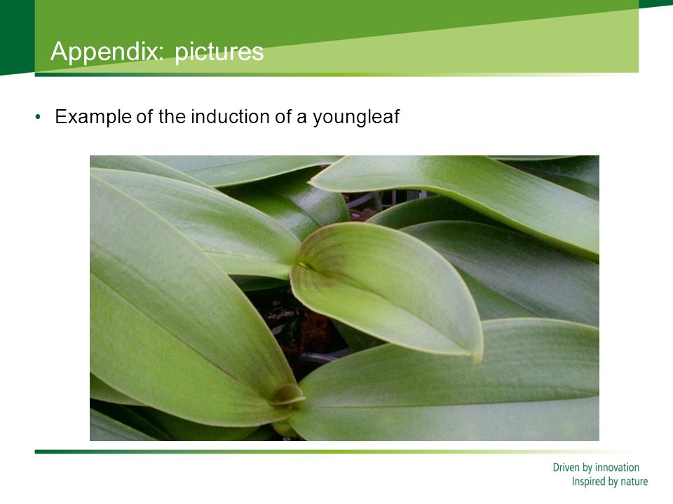 Appendix: pictures Example of the induction of a youngleaf