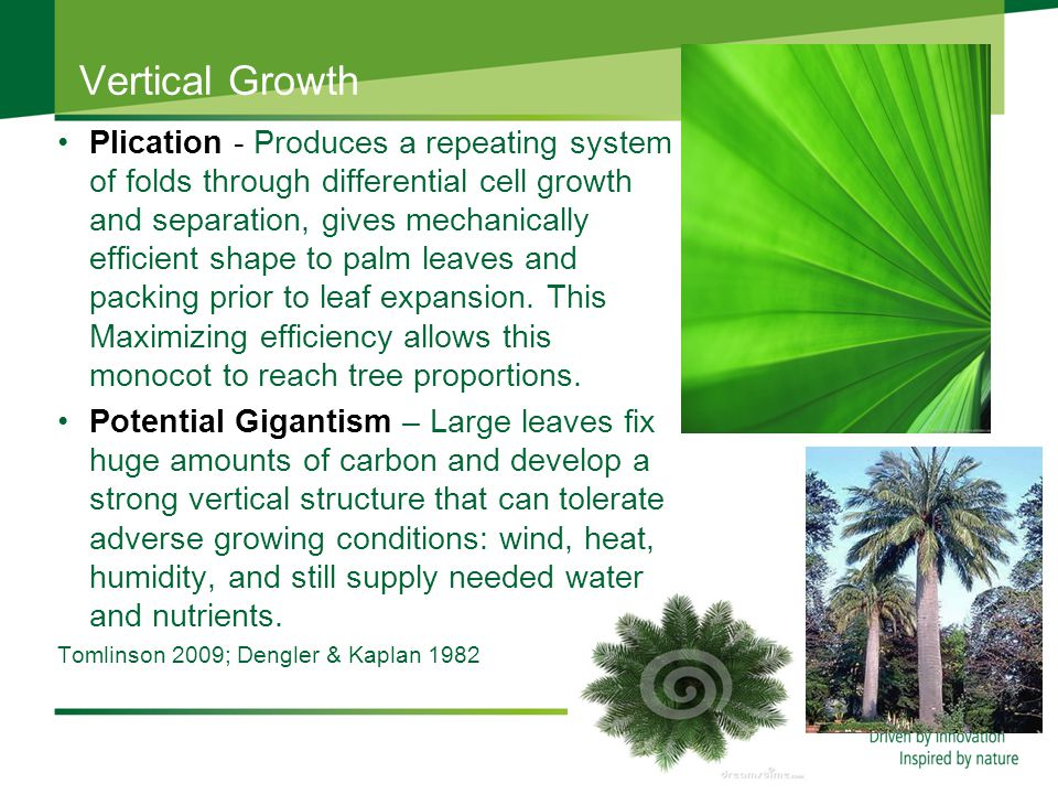 Vertical Growth Plication - Produces a repeating system of folds through differential cell growth and separation, gives mechanically efficient shape to palm leaves and packing prior to leaf expansion.