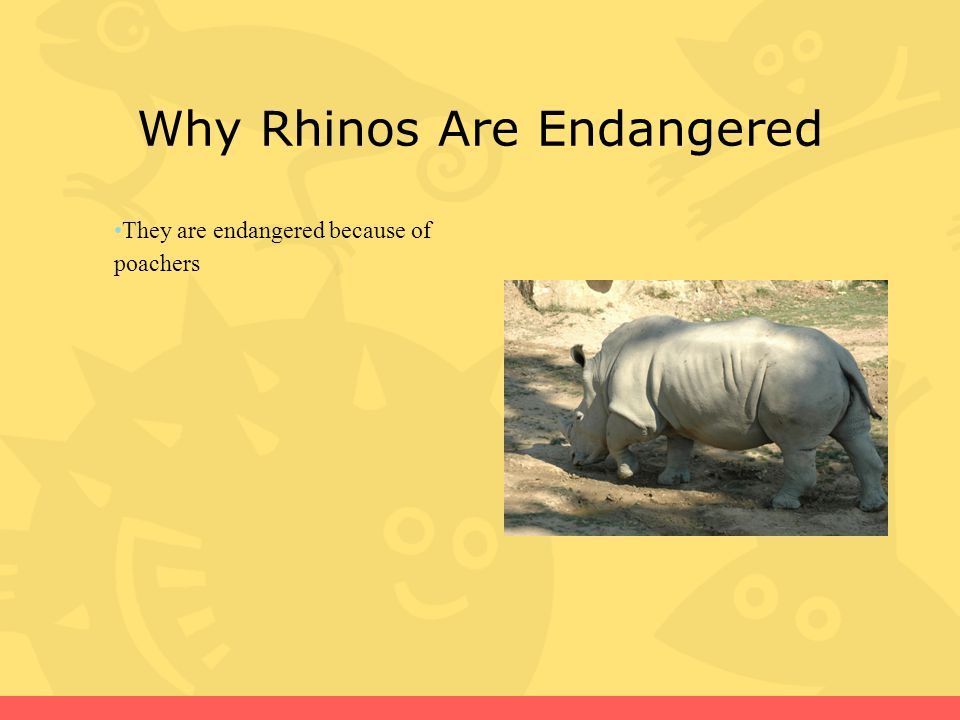 Why Rhinos Are Endangered They are endangered because of poachers