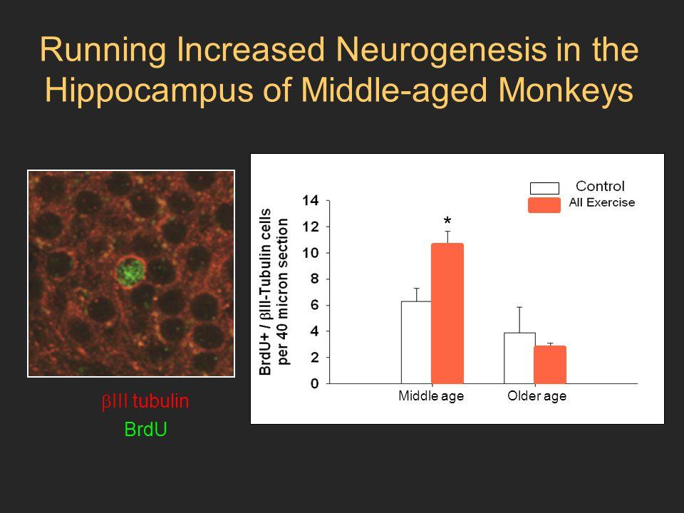 Running Increased Neurogenesis in the Hippocampus of Middle-aged Monkeys  III tubulin BrdU * * Middle-aged Mature * * * * * Middle age Older age *