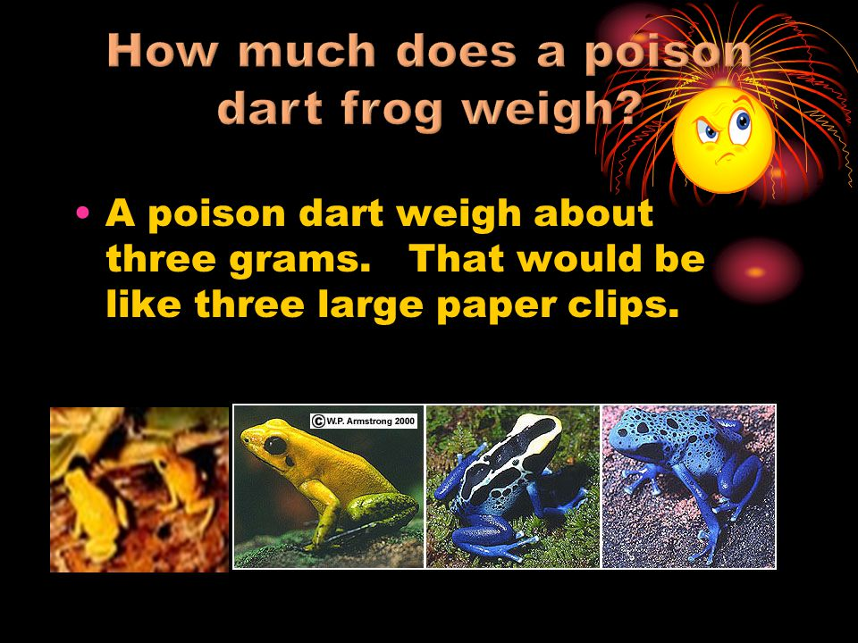 A poison dart weigh about three grams. That would be like three large paper clips.
