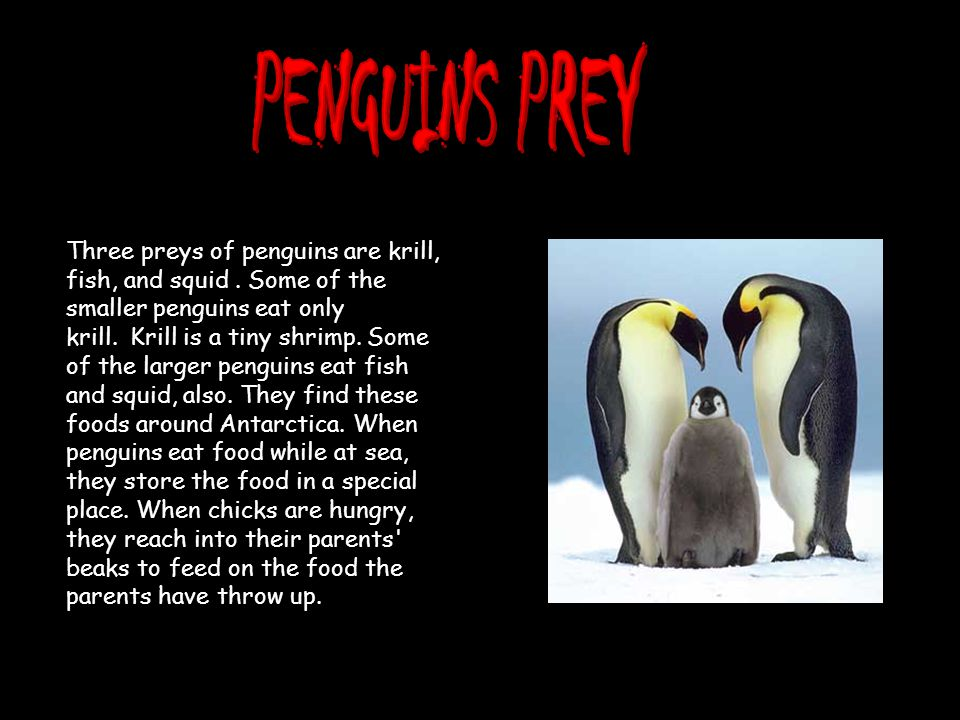 Three preys of penguins are krill, fish, and squid.