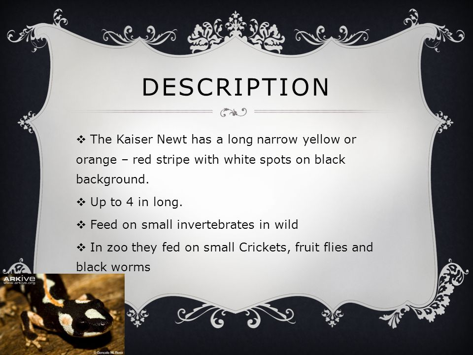 DESCRIPTION  The Kaiser Newt has a long narrow yellow or orange – red stripe with white spots on black background.  Up to 4 in long.  Feed on small