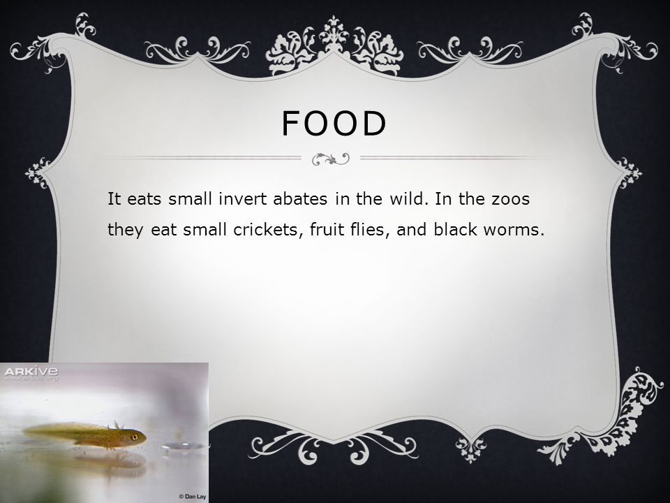 FOOD It eats small invert abates in the wild. In the zoos they eat small crickets, fruit flies, and black worms.