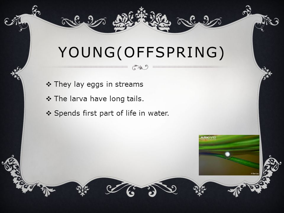 YOUNG(OFFSPRING)  They lay eggs in streams  The larva have long tails.  Spends first part of life in water.