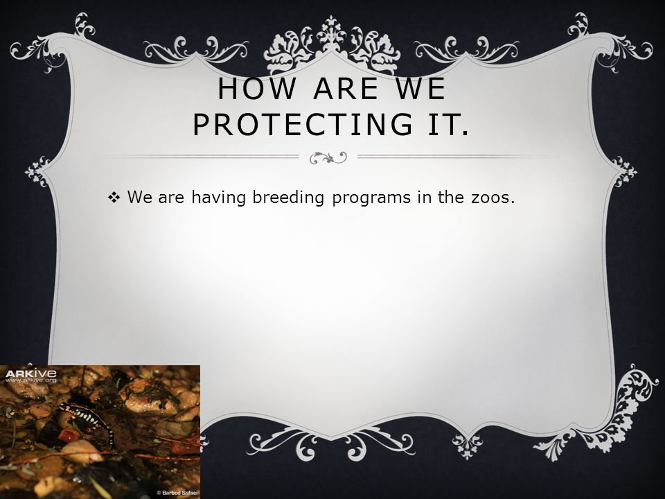 HOW ARE WE PROTECTING IT.  We are having breeding programs in the zoos.