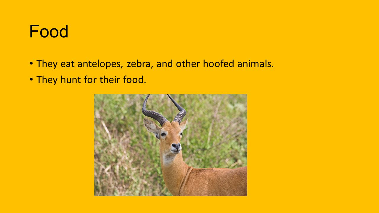 Food They eat antelopes, zebra, and other hoofed animals. They hunt for their food.