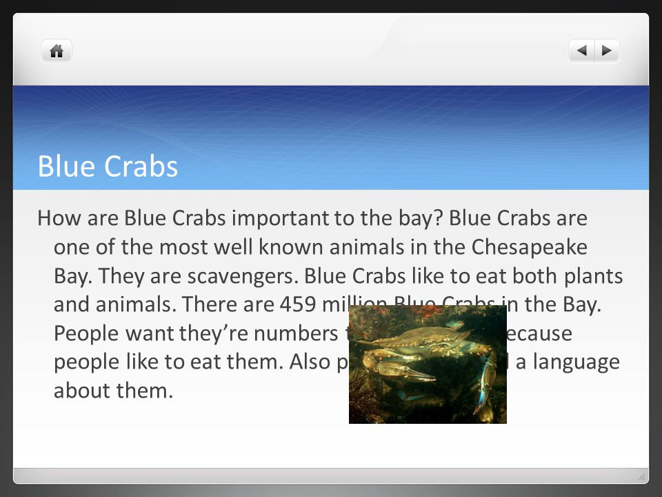 Blue Crabs How are Blue Crabs important to the bay.
