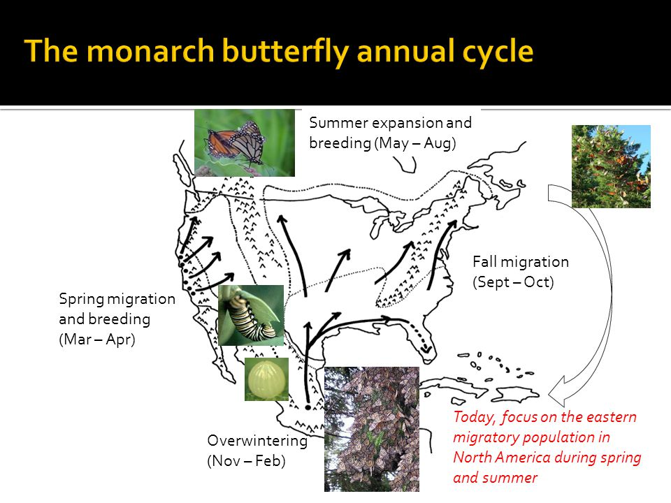 Overwintering (Nov – Feb) Spring migration and breeding (Mar – Apr) Summer expansion and breeding (May – Aug) Fall migration (Sept – Oct) Today, focus on the eastern migratory population in North America during spring and summer