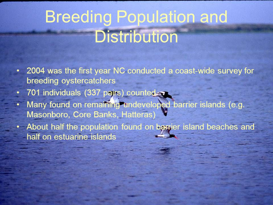 Breeding Population and Distribution 2004 was the first year NC conducted a coast-wide survey for breeding oystercatchers 701 individuals (337 pairs) counted Many found on remaining undeveloped barrier islands (e.g.
