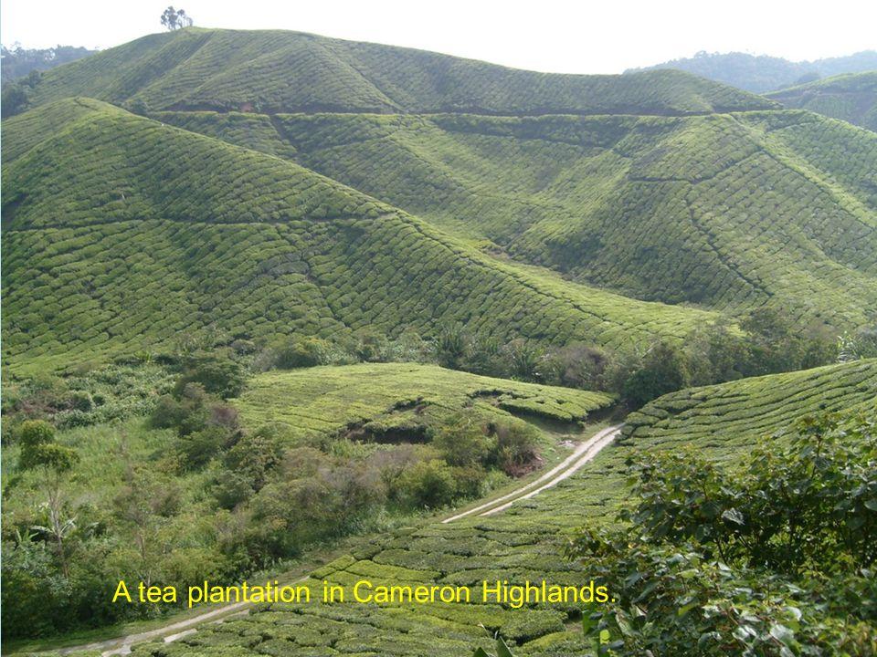 A tea plantation in Cameron Highlands.