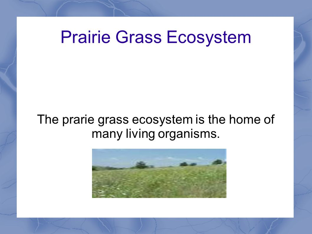 Prairie Grass Ecosystem The prarie grass ecosystem is the home of many living organisms.
