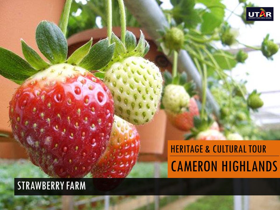 HERITAGE & CULTURAL TOUR CAMERON HIGHLANDS STRAWBERRY FARM