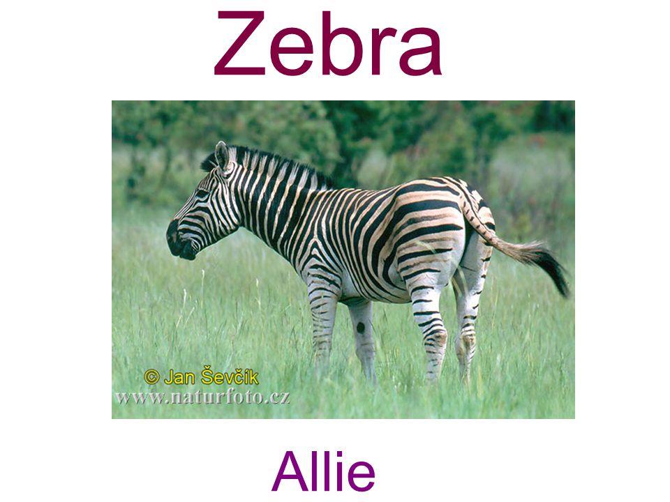 Zebra Allie