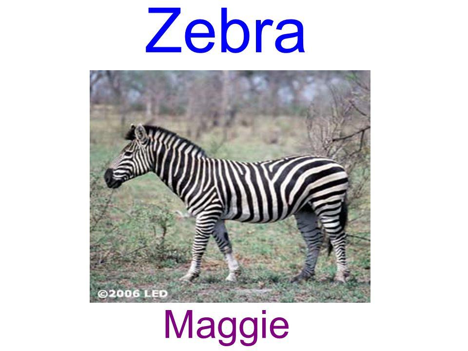Zebra Maggie