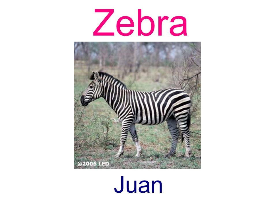Zebra Juan