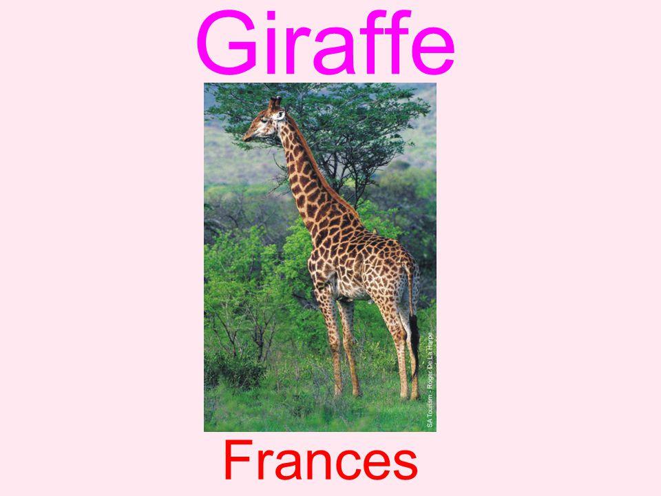 Giraffe Frances