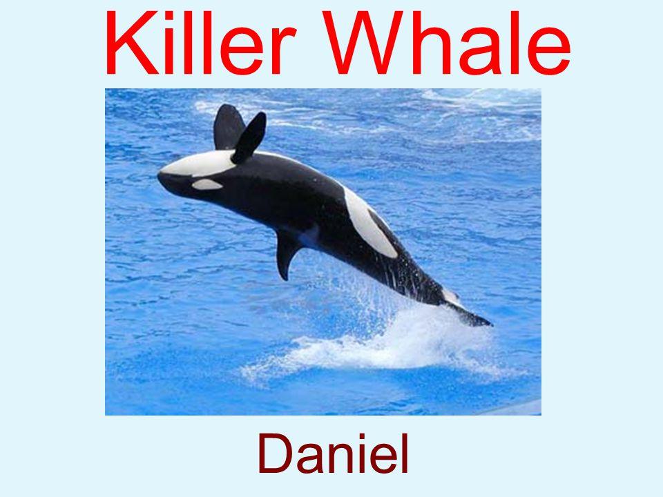 Killer Whale Daniel