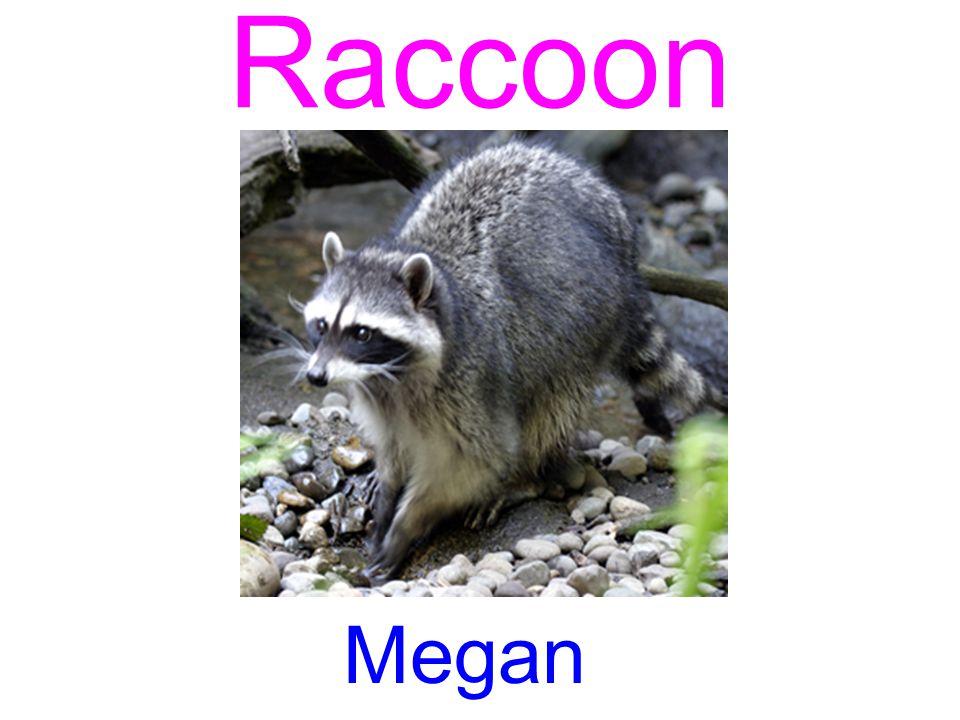 Raccoon Megan
