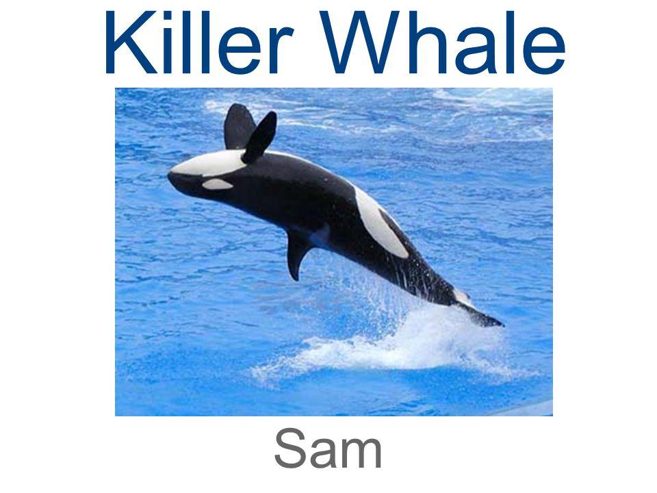 Killer Whale Sam