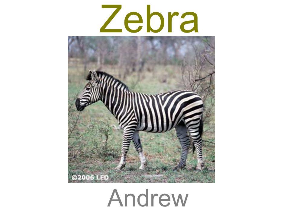 Zebra Andrew