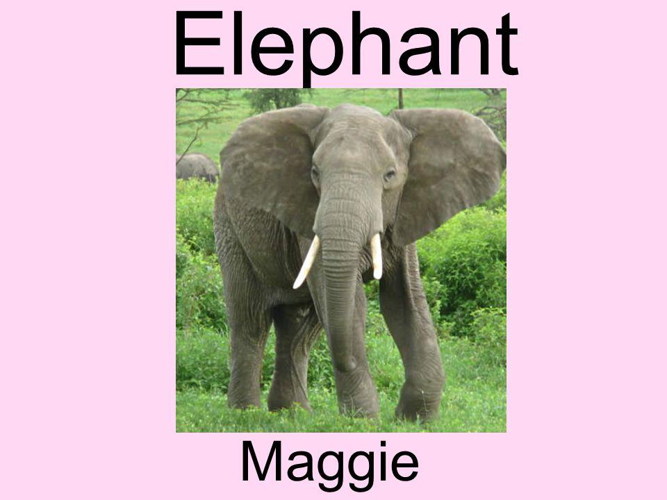Elephant Maggie