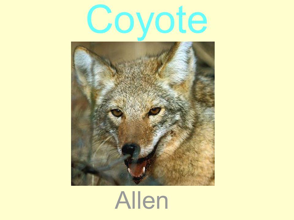 Coyote Allen