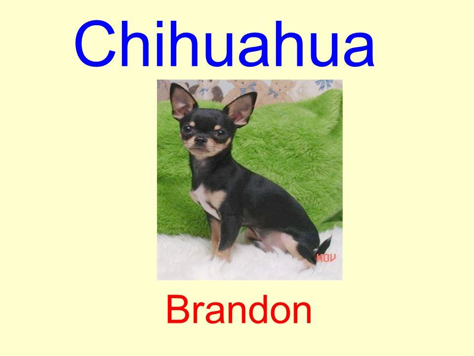 Chihuahua Brandon