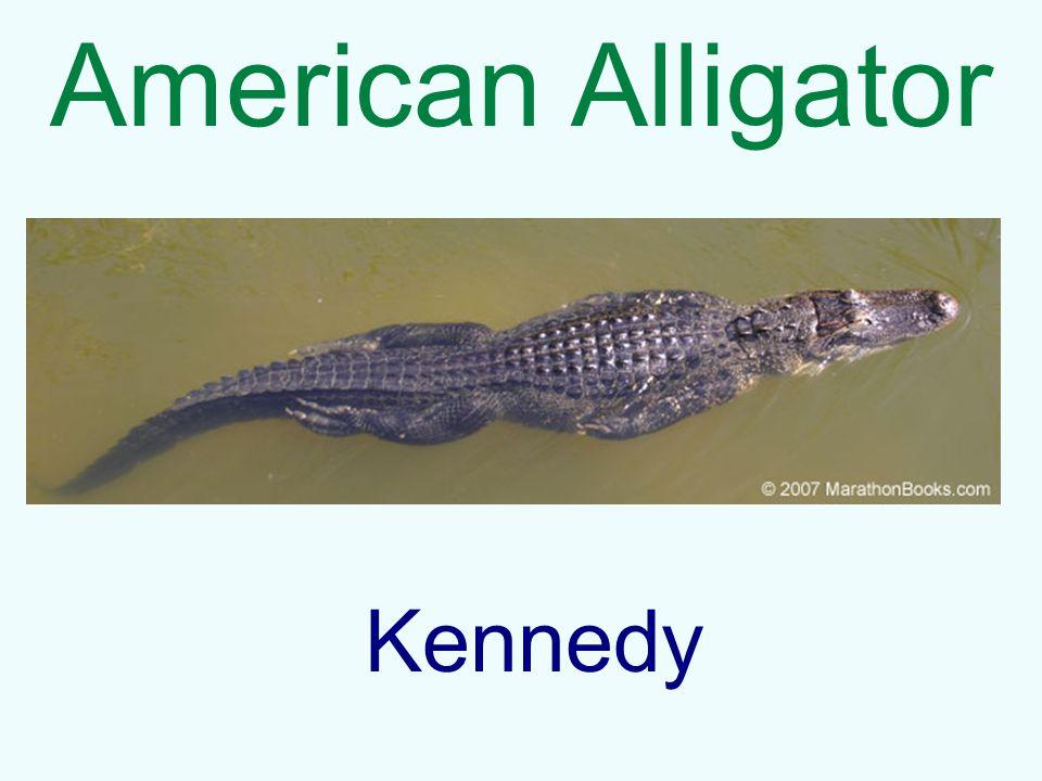 American Alligator Kennedy