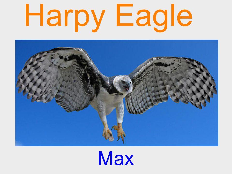 Harpy Eagle Max