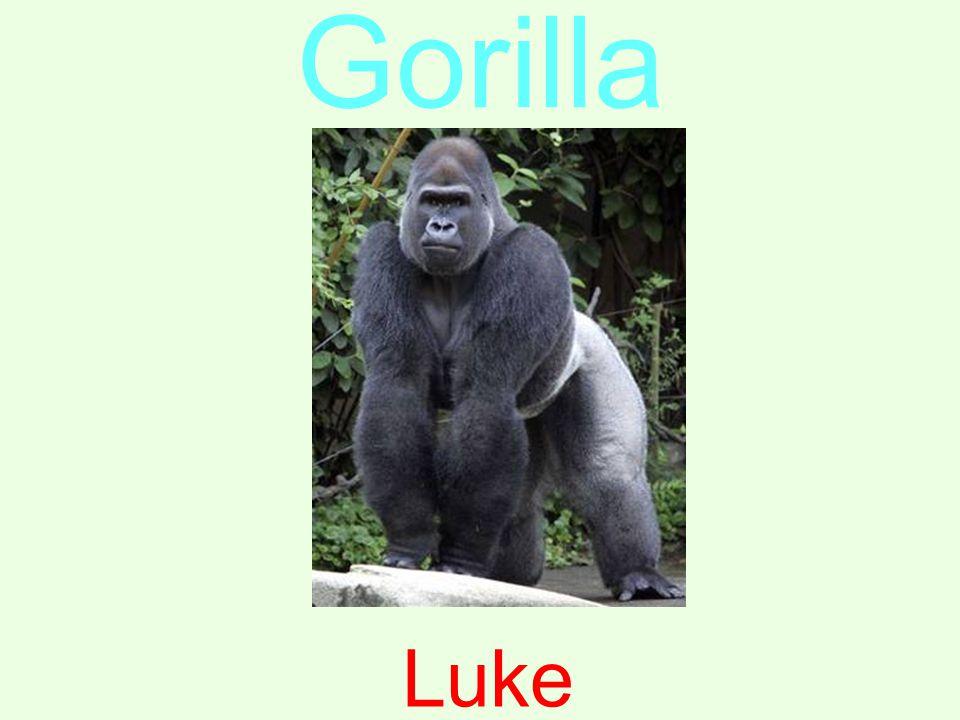 Gorilla Luke