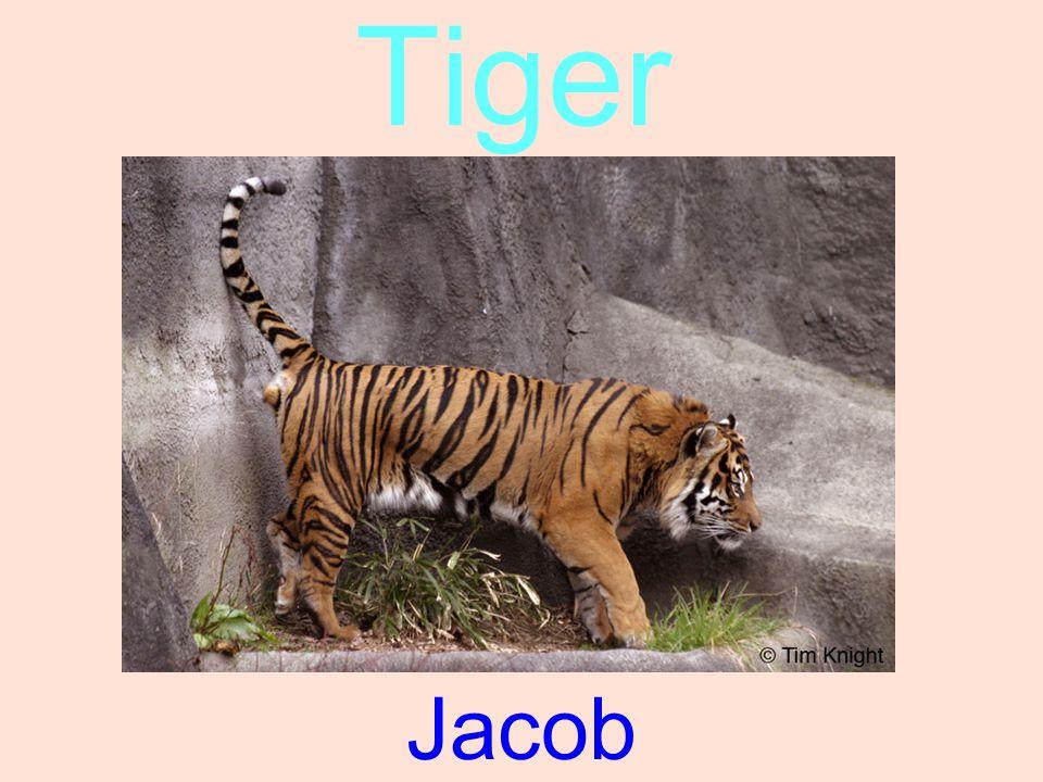 Tiger Jacob